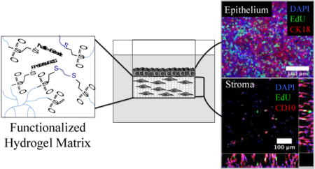 Local remodeling of synthetic extracellular matrix microenvironments by co-cultured endometrial epithelial and stromal cells enables long-term dynamic physiological function.